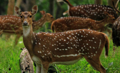 Deer's seen at corbett Jungle safari & Nainital
