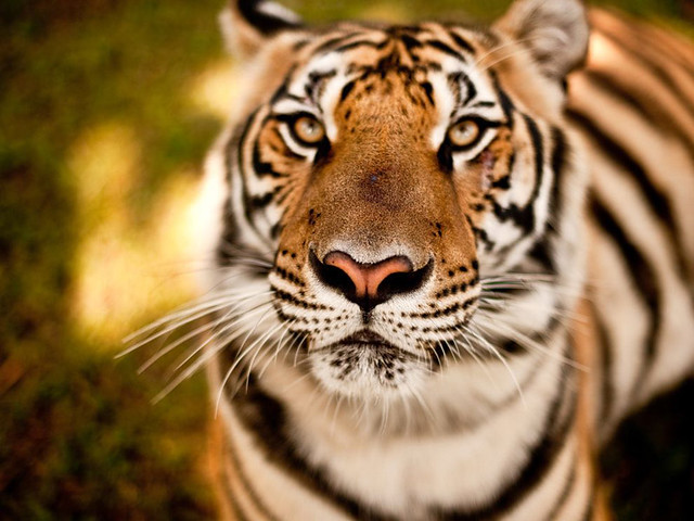 Only 3,200 tigers remain in the wild.